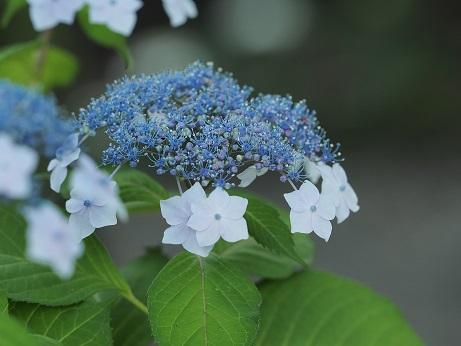 紫陽花ギャラリー(ブルー系〜パープル系)